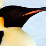 Viaje al Mar de Weddell: en busca del pingüino Emperador